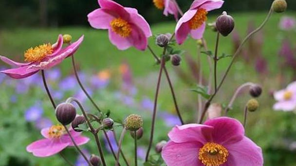 Japanese anemone profile