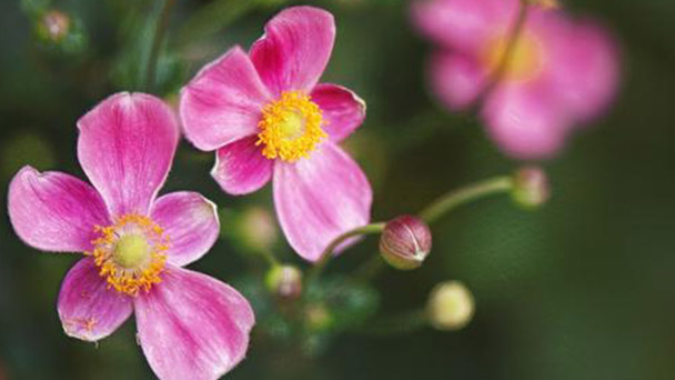 How to grow and care for Japanese anemone