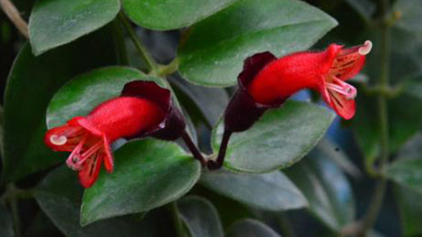 How to grow and care for Lipstick plant