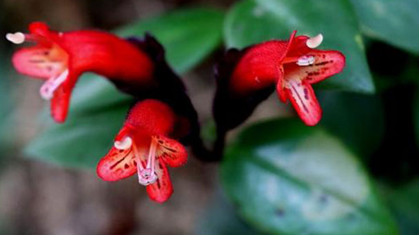 How to care for lipstick plant