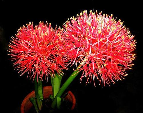 Scadoxus multiflorus