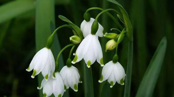 How to grow and care for Snowdrop