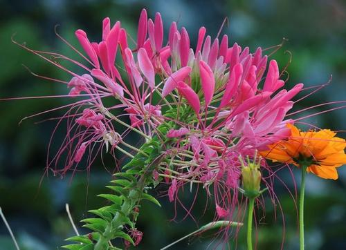 Spiny spider flowers