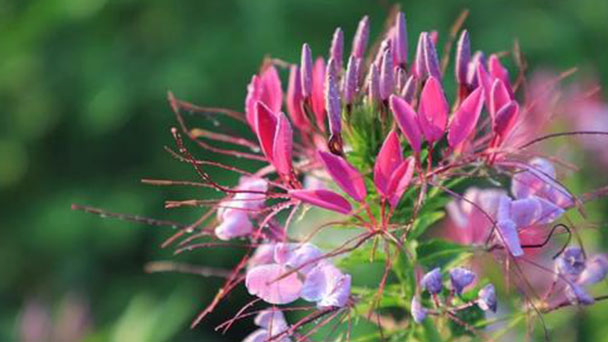 How to grow and care for Spiny spider flowers