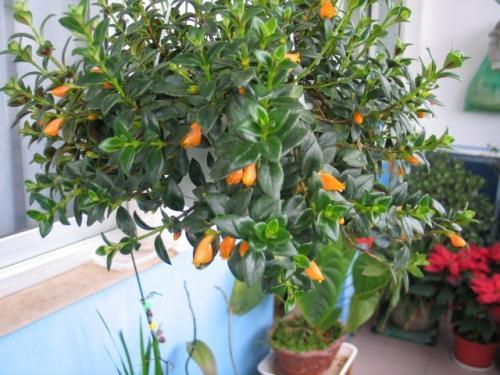 goldfish plants