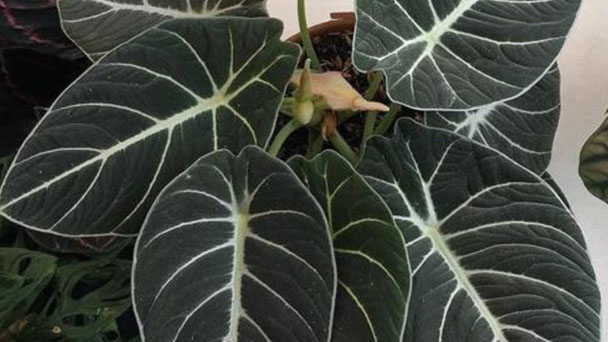 How to grow and care for Anthurium crystallinum