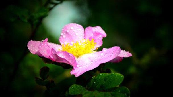 Chestnut rose profile