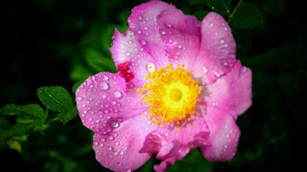 How to grow and care for chestnut rose