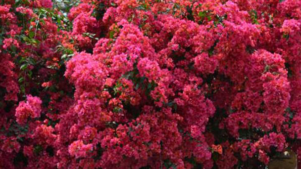 How to grow and care for Great Bougainvillea
