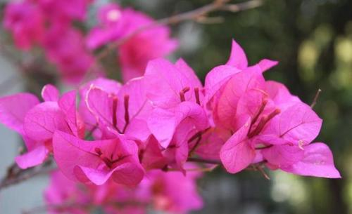 Great Bougainvillea