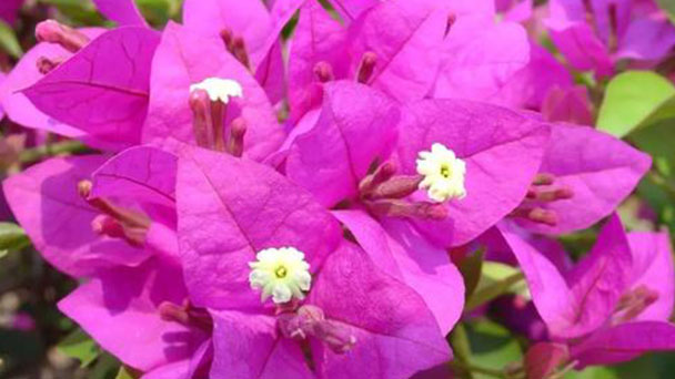 Propagation methods of Great bougainvillea
