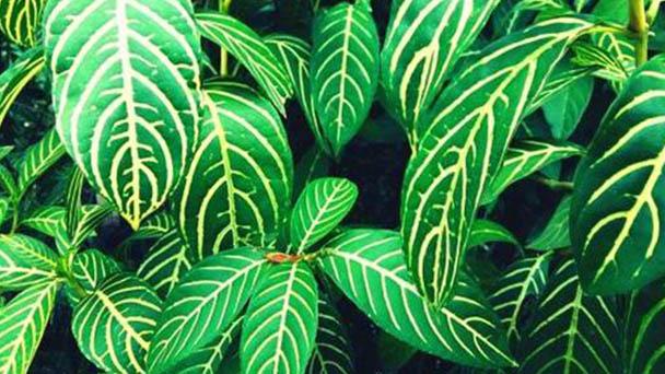 Zebra-plant profile