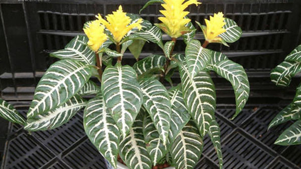 How to grow and care for Zebra-plant