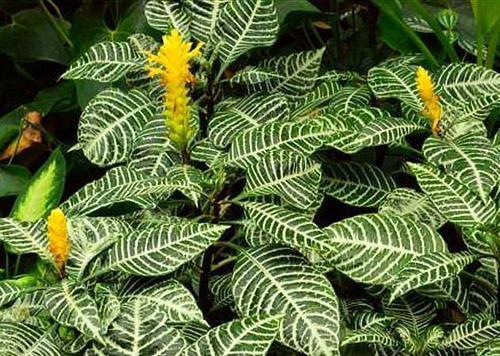 Zebra- Plants