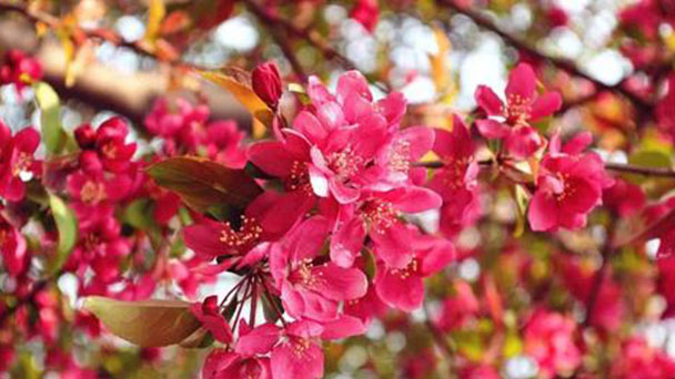How to take care of Asiatic apple