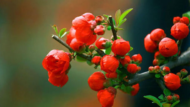 How to care for Asiatic apple