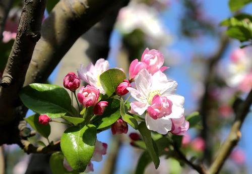 Asiatic apple