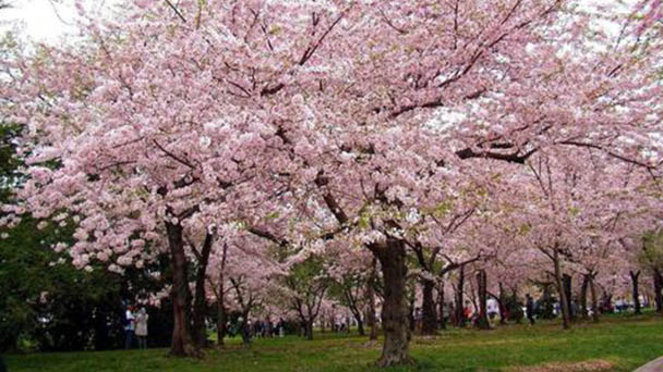 Cherry blossom profile