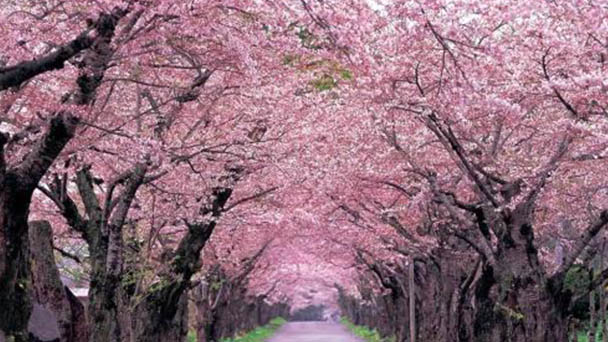 How to grow and care forCherry Blossom