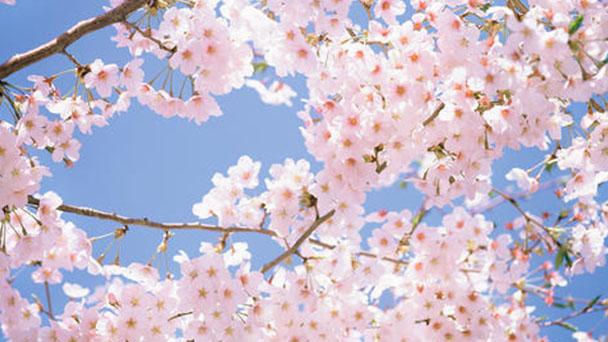 Propagation methods of Cherry Blossom