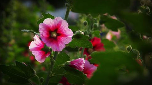 Common hollyhock profile