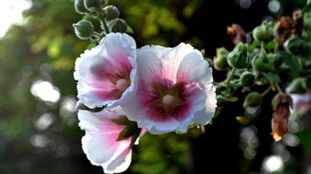 Propagation methods of Common Hollyhock