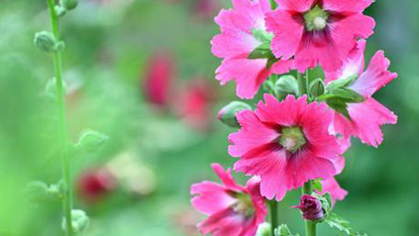 How to grow and care for Common hollyhock