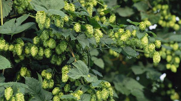 Common hop profile