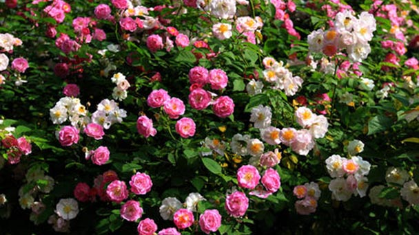How to grow and care for Multiflora rose