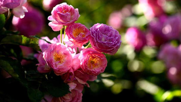 Propagation methods of Multiflora Rose