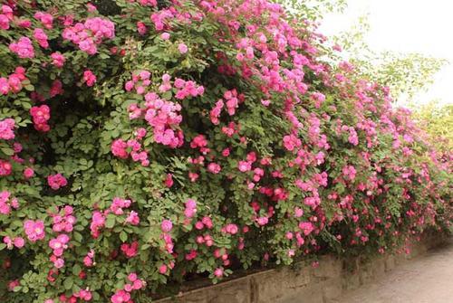 Sowing propagation method of Multiflora Rose