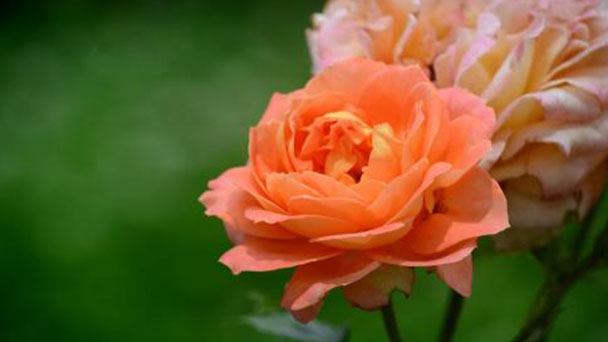 How to care for Multiflora rose
