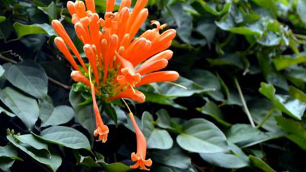 Orange trumpet vine profile