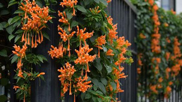 Propagation methods of orange trumpet vine