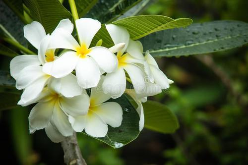 Spanish Jasmine
