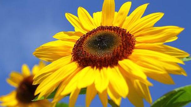 Propagation method of sunflowers