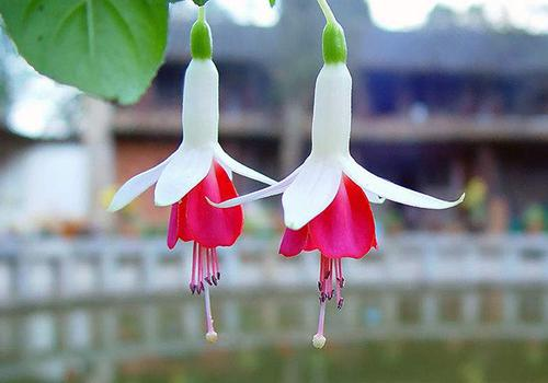 Hybrid Fuchsia care for it not blooming