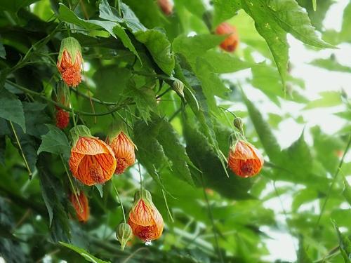 Hybrid Fuchsia