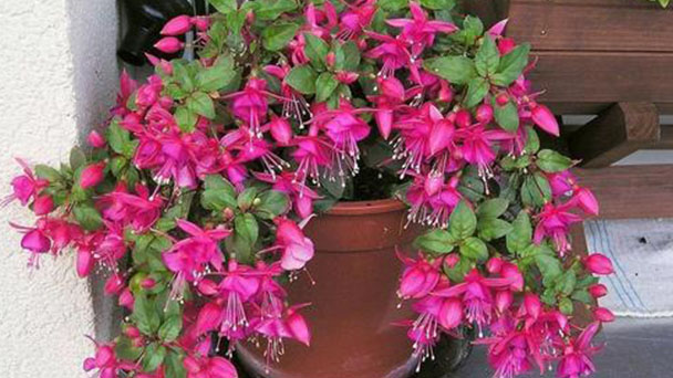 How to grow and care for Hybrid Fuchsia
