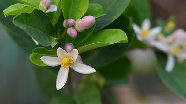 How to grow and care for lemon