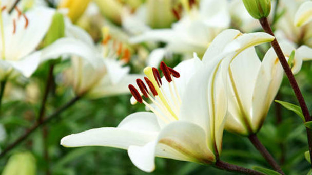 How to grow and care for lily