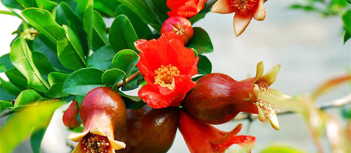 Pomegranate flowers