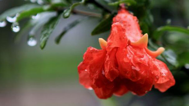 How to care for Pomegranate flowers