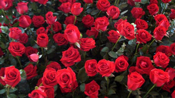 Propagation methods of rose