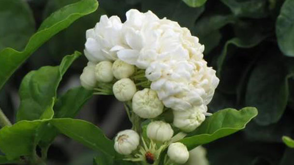 Propagation methods of Arabian jasmine