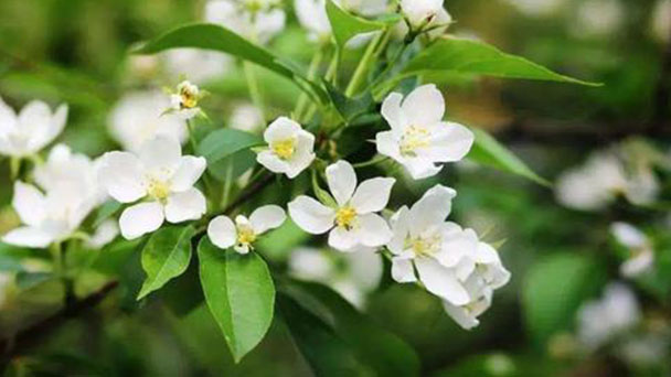 How to grow and care for Arabian jasmine