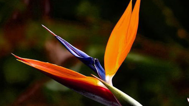 How to take care of Bird of Paradise