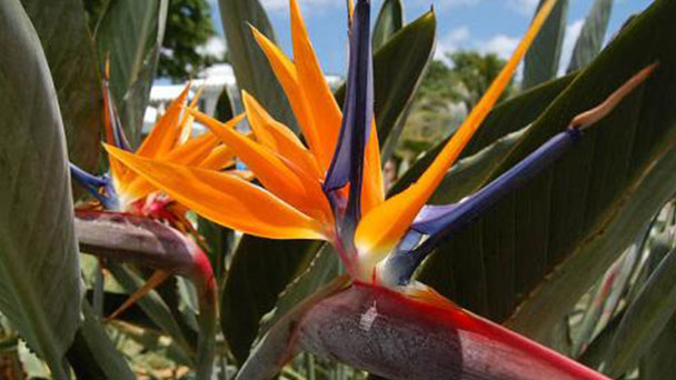 Bird of Paradise care guides