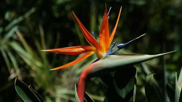 Propagation methods of Bird of paradise