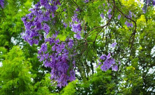 Blue Jacaranda